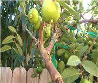 نشرة فنية لمكافحة الآفات في أشجار الجوافة خلال فبراير.. تعرف عليها
