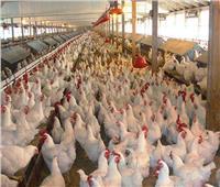 التدفئة والتحصينات المناسبة تحافظ على مزارع الدواجن خلال الشتاء
