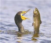 حملات لـ «تطفيش» غراب البحر من بحيرة البردويل