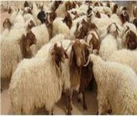 تحصين ٢٢٩ ألف رأس ماشيةبالشرقية ضد الحمى القلاعية