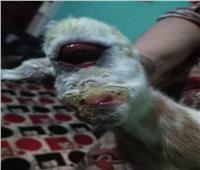 صور| بعد 24 ساعة من ولادتها نفوق عنزة بعين وأذن واحدة