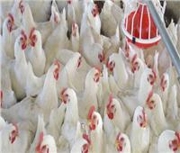 فيديو| الزراعة: لجنة لتوعية المواطنين بمخاطر التعامل مع الدجاج الحي