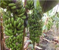 لمزارعي الموز.. تعرف على توصيات الزراعة لزيادة وجودة الإنتاج