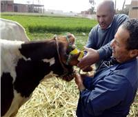 صور| الزراعة: تحصين 400 ألف رأس ماشية خلال 3 أيام