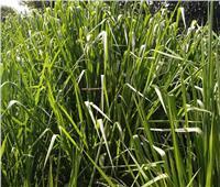 أبوستيت يطمئن على محصولي القمح والبصل بمحافظة الشرقية