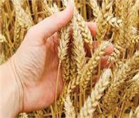 توريد ٥٨ ألف طن من القمح لصوامع وشون الشرقية