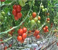 لمزارعي الطماطم.. نصائح مع بدء زراعة العروة الصيفية المتأخرة