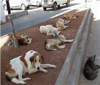 الكلاب الضالة تثير غضب سكان العاشر من رمضان