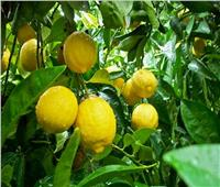 فيديو| بعد ارتفاع أسعاره 100 جنيه للكيلو.. هذه أسباب «جنون الليمون»