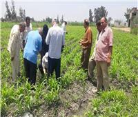 «زراعة دمياط» تطمئن على الزراعات الصيفية وتوريد القمح