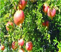 لـ«مزارعي الرمان» 5 نصائح لزيادة الإنتاج خلال يونيو.. تعرف عليها