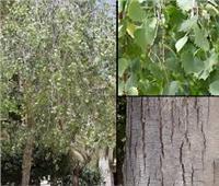 صور| مطهر طبيعي ومصد للرياح.. فوائد لا تعرفها عن أشجار «الحور»