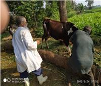 صور| تحصين 384 ألف رأس ماشية ضد مرض الحمي القلاعية