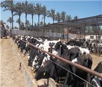 تحصين 728 ألف رأس ماشية ضد مرض الحمى القلاعية