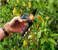 لـ«مزارعي الموالح» كيفية التعامل مع الأشجار في درجات الحرارة المرتفعة