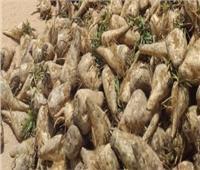 الزراعة تبحث مع شركات السكر زراعة 5000 فدان بنجر بمشروع غرب المنيا