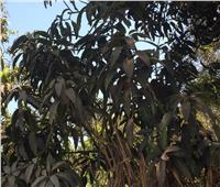 صور| «العفن الهبابي».. يُهدد أشجار المانجو في قرى الفيوم