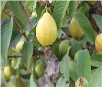 «الزراعة» تعلن عن إنجاز علمي في تقدير الحد الأقصى لمتبقيات أحد المبيدات