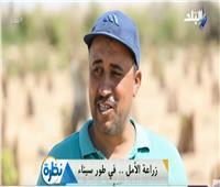 مدير مزرعة: الزيتون لا يصاب بالحشرات عند زراعته بطور سيناء
