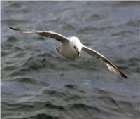 دراسة تكشف سبب نفوق 95% من «طيور البترل» على الساحل الدنماركي