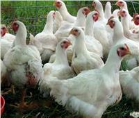تحصين «الطيور الداجنة» بكفر الشيخ من الأمراض الوبائية