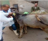«الزراعة»: تحصين أكثر من 2.4 مليون رأس ماشية ضد الحمى القلاعية