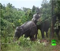 فيديو| نقل 2 من الفيلة إلى إحدى المحميات في ميانمار