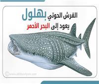 إنفوجراف: القرش الحوتي بهلول يعود إلى البحر الأحمر