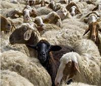 محافظ المنيا: تخصيص 35 رأس ماشية للقرى الأكثر احتياجافي عيد الأضحى