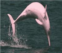 حقائق مذهلة عن دولفين نهر الأمازون «الوردي».. تعرف عليها