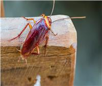 طريقة سحرية للتخلص من الصراصير بشكل نهائي في المنزل