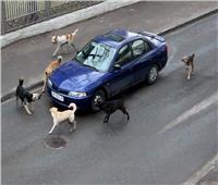 5 طرق لحماية سيارتك من الكلاب الضالة في الشارع