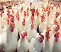 «أسعار الدواجن» تواصل استقرارها بالأسواق اليوم 2 أكتوبر