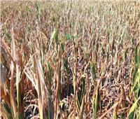 الحكومة تكشف حقيقة تلف المحاصيل الزراعية بسبب «الحشد الخريفية»