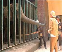 حكايات| ما لا تعرفه عن الفيلة «نعيمة».. قتلت زوجها وحارسها وبكاها 20 رجلا
