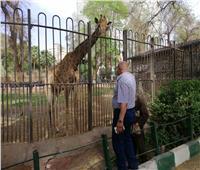لغز صداقة الزرافة والغزال.. حيوانات مهددة بالانقراض بحديقة الجيزة