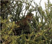 محمية ماساي مارا.. سهول كينيا تحتضن «كنز أفريقيا البري»