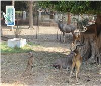 حديقة حيوان الجيزة تستقبل مولودا جديدا من «كودو كبير»