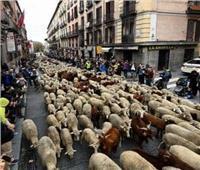 صور| «مواقف وطرائف».. الأغنام تغزو مدريد