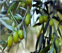 تعرف على نصائح الزراعة لمزارعي الزيتون لزيادة وجودة الإنتاج