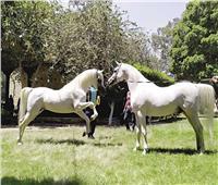 غدا.. انطلاق مهرجان الخيول العربية بمحطة الزهراء