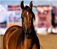 لحظات صعبة .. ولادة الخيول «عملية معقدة» تستغرق 20 دقيقة