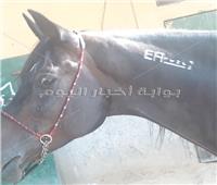 «الختم الأبيض» علامة مميزة في رقبة الحصان العربي الأصيل