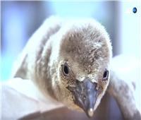 شاهد  احتفالات حديقة حيوانات براغ بمولود البطريق في التشيك
