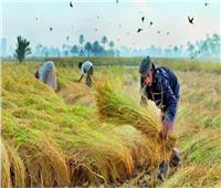 انتهاء موسم حصاد الأرز بالشرقيةبتحرير ٤١٨ «محضر حرق»