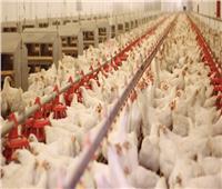 غلق مزرعة دواجن شهيرة بكفر شكر بالقليوبية لمخالفتها الشروط
