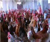 الزراعة عن انخفاض سعر الدواجن والبيض: دعم المربين وزيادة الإنتاج والمعروض السبب