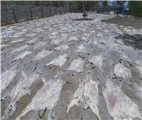 تقارير: نصف حمير العالم في طريقها للفناء لهذا السبب