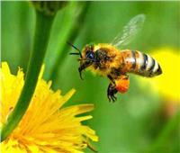 بالفيديو.. رحلة النحل بحثا عن الرحيق وسط النباتات