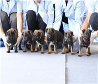 فيديو وصور  استنساخ 6 كلاب تتمتع بخاصية «الحس الأمني» بالصين